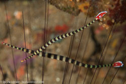 BD-161024-Pura-2646-Dunckerocampus-dactyliophorus-(Bleeker.-1853)-[Ringed-pipefish].jpg